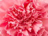 Pink carnation flower — Stock Photo