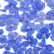 Beautiful blue flowers — Foto Stock