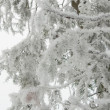 Stock Photo: Trees with snow in winter park