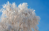 Frosty tree and blue clear sky — Stock Photo