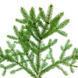Fir branch isolated — Stock Photo #36203887