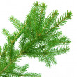 Fir branch isolated — Stock Photo #36204113