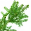 Stock Photo: Fir branch isolated