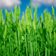 Green wheat — Stock Photo
