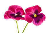 Pansy isolated — Foto Stock