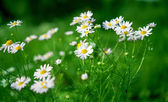 Daisy growing — Stock Photo