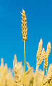 Growing wheat ears against the blue sky — Stock Photo