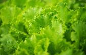 Büyüyen yeşil yaprak marul — Stok fotoğraf