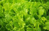Green leaf lettuce growing — Stock Photo