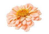 Ciniya flower — Stock Photo
