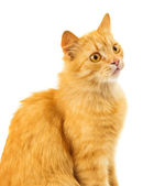 Cat isolated — Foto Stock