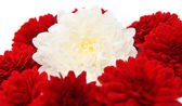 Chrysanthemum isolated — Stock Photo