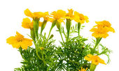 Marigolds isolated — Stock Photo