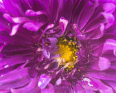Purple aster — Stock Photo