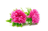 Aster flower isolated — Stock Photo
