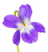 Violet flowers isolated — Stock Photo