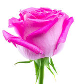 Pink rose isolated — Stok fotoğraf