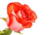 Kırmızı gül makro — Stok fotoğraf