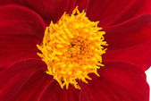 Dahlia flower isolated — Stockfoto
