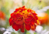 Marigolds growing — Foto Stock