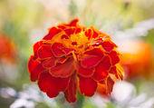 бархатцы выращивание — Стоковое фото