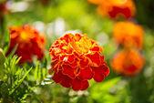 Marigolds growing — Foto de Stock