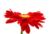 Red gerbera isolated — Foto de Stock