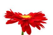 červená gerbera, samostatný — Stock fotografie