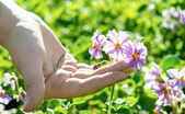 Potatoes blooming — Stock Photo