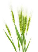 Green wheat isolated — Stock Photo