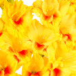 Gladiolus — Stock Photo #39057641