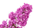 Lilac branch isolated — Stock Photo