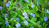 Periwinkle flowers — Foto Stock