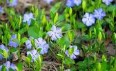 Brčál květiny — Stock fotografie