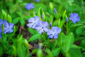 Periwinkle flowers growing — Стоковое фото