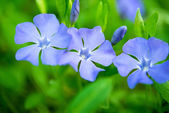 Periwinkle flowers growing — Stockfoto