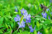 Periwinkle flowers growing — Stock Photo