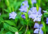 Periwinkle flowers growing — Stock Photo