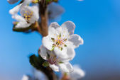 Spring white blossom cherry tree flowers — Stock Photo