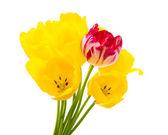 Tulips isolated — Stock Photo