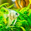 A green beautiful planted tropical freshwater aquarium — Stock Photo