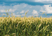 Wheat field before — Stock Photo