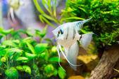 A green beautiful planted tropical freshwater aquarium — Stock Photo