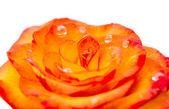 Beautiful Reddish yellow rose — Stock Photo