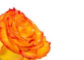 Beautiful Reddish yellow rose — Stock Photo