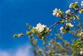Kvetoucí větev stromu jablko — Stock fotografie