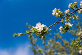 Blommande apple trädgren — Stockfoto