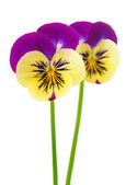 Pansy flower isolated — Stock Photo