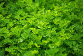 Fresh growing flat leaf parsley background. — Stock Photo