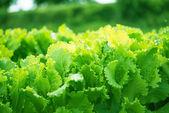 Lettuce growing — Stock Photo
